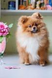 Pomeranian divertente che si siede nell'interno Fotografia Stock Libera da Diritti