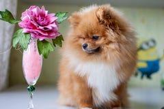Pomeranian divertente che si siede nell'interno Fotografie Stock Libere da Diritti
