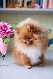 Pomeranian divertente che si siede nell'interno Fotografia Stock