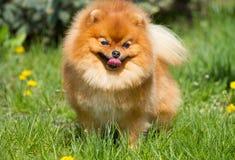 Pomeranian do cão Imagens de Stock Royalty Free