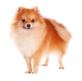 Pomeranian Dog Stock Image