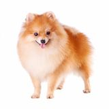 Pomeranian Dog Royalty Free Stock Photography