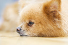 Pomeranian dog. A sick Pomeranian dog on the ground Stock Photo