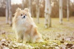 Free Pomeranian Dog Stock Images - 51108104