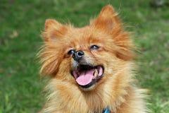 Pomeranian dog. Beautiful close up head shot of a very happy pomeranian looking up lovingly stock photography