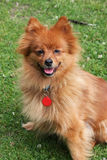Pomeranian dog. Beautiful portrait of a sitting pomeranian Stock Photography