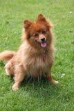 Pomeranian dog. Beautiful portrait of a sitting pomeranian Stock Image