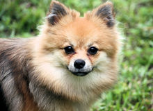 Pomeranian Dog Royalty Free Stock Photos