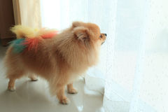Pomeranian dog alone in home. Cute pet in house Royalty Free Stock Photos