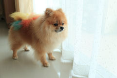 Pomeranian dog alone in home. Cute pet in house Stock Photography