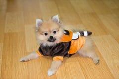 Pomeranian Stock Photography