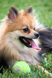 Pomeranian dog with ball Stock Photo