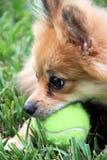 Pomeranian dog with ball. Pomeranian Dog playing with a ball stock photography