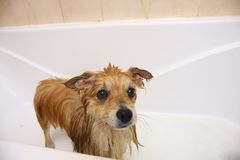 Pomeranian dog in the bathroom Spitz dog in the washing process with shampoo close up stock images