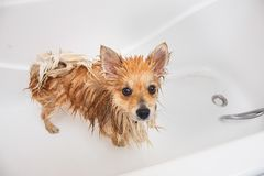 Pomeranian dog in the bathroom Spitz dog in the washing process with shampoo close up stock photo