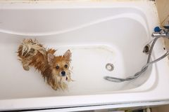 Pomeranian dog in the bathroom Spitz dog in the washing process with shampoo close up royalty free stock image