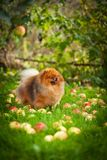 Pomeranian dog Beautiful dog Stock Image