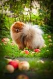 Pomeranian dog Beautiful dog Royalty Free Stock Image