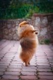 Pomeranian dog Beautiful dog Royalty Free Stock Images