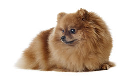 Pomeranian dog breed Stock Photography