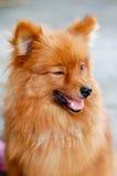 Pomeranian dog. Brown pomeranian a dog beauty Royalty Free Stock Photography