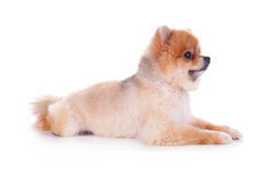 Pomeranian dog brown short hair Royalty Free Stock Photography