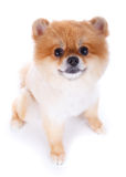 Pomeranian dog brown short hair. On white background Stock Photos
