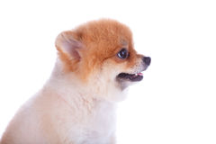 Pomeranian dog brown short hair. On white background Royalty Free Stock Image