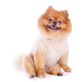 Pomeranian dog brown short hair Royalty Free Stock Images
