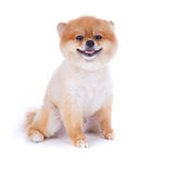 Pomeranian dog brown short hair. On white background Stock Image