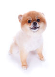 Pomeranian dog brown short hair. On white background Royalty Free Stock Photo