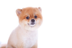 Pomeranian dog brown short hair. On white background Stock Photography