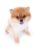 Pomeranian dog brown short hair. On white background Royalty Free Stock Photography