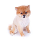 Pomeranian dog brown short hair. On white background Royalty Free Stock Photos