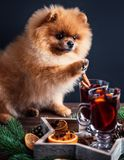 Pomeranian dog in Christmas decorations and with a glass of mulled wine. A dog with a glass of mulled wine.  Royalty Free Stock Photos