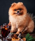 Pomeranian dog in Christmas decorations and with a glass of mulled wine. A dog with a glass of mulled wine.  Stock Photo