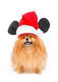 Pomeranian dog with Christmas hat Royalty Free Stock Photography
