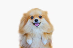Pomeranian dog,close up portrait pomeranian dog small isolation on white background, small dog of a breed with long silky hair. A pointed muzzle, and pricked stock image