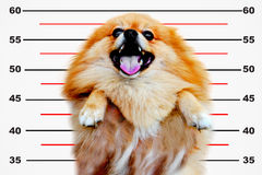Pomeranian dog,close up portrait pomeranian dog small isolation on white background, small dog of a breed with long silky hair Stock Image