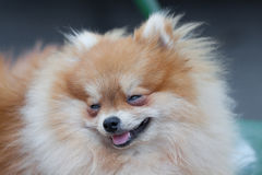 Pomeranian dog,closeup portrait pomeranian dog Royalty Free Stock Photography