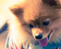 Pomeranian dog closeup with smile face focused on head split-ton Stock Images
