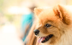 Pomeranian dog closeup with smile face Royalty Free Stock Images