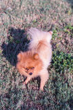 Pomeranian dog, cute pet. And animal Royalty Free Stock Image
