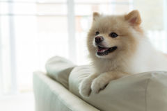 Pomeranian dog cute pet happy smile in home. White puppy pomeranian dog cute pet happy smile in home with seat sofa furniture interior decor in living room stock image