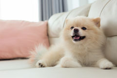 Pomeranian dog cute pet happy smile in home. White puppy pomeranian dog cute pet happy smile in home with seat sofa furniture interior decor in living room royalty free stock images