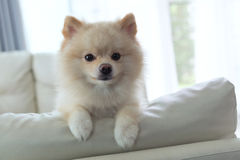 Pomeranian dog cute pet happy smile in home. White puppy pomeranian dog cute pet happy smile in home with seat sofa furniture interior decor in living room royalty free stock photography