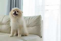 Pomeranian dog cute pet happy smile in home. White puppy pomeranian dog cute pet happy smile in home with seat sofa furniture interior decor in living room royalty free stock image