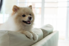 Pomeranian dog cute pet happy smile in home. White puppy pomeranian dog cute pet happy smile in home with seat sofa furniture interior decor in living room stock photo