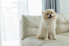 Pomeranian dog cute pet happy smile in home. White puppy pomeranian dog cute pet happy smile in home with seat sofa furniture interior decor in living room royalty free stock photos