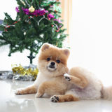 Pomeranian dog cute pet in home with christmas tree Royalty Free Stock Photography